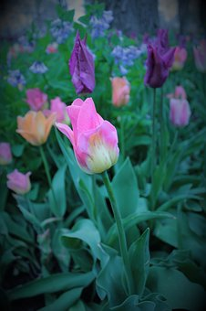 Pink, Tulip, Flowers, Tulips, Spring, Nature, Bloom