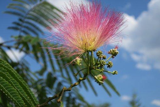 Silk Tree, Sleeping Tree, Silk Acacia, Blossom, Bloom