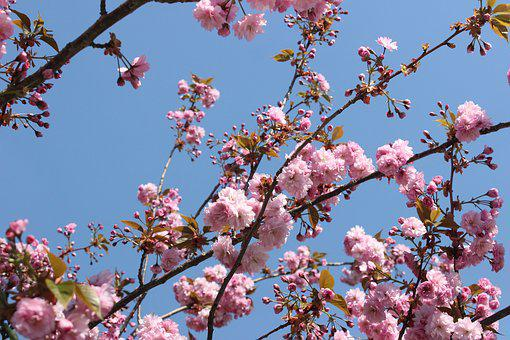 Nature, Cherry Blossoms, Blossom, Bloom, Pink, Branch