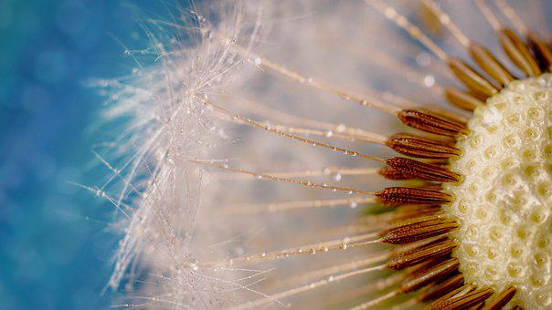 Dandelion, Seeds, Close Up, Flying Seeds, Umbrella