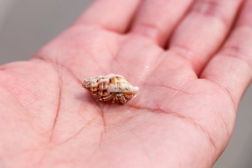 Hermit Crab, Conch, Hand, Control, Shell, Marine