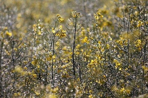 Oilseed Rape, Faded, Dew, Morning Dew, Dewdrop