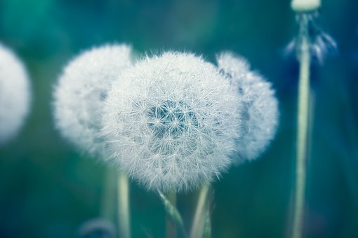 Dandelion, Dewdrop, Seeds, Close Up, Morgentau, Drip