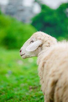 Sheep, Elephant, Animal, Thailand, Tusks, Nature