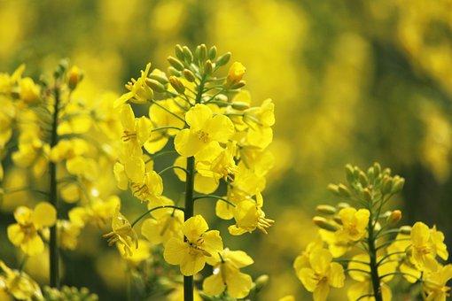 Rape Blossom, Oilseed Rape, Field Of Rapeseeds, Spring