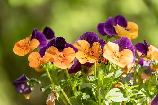 Flowers, Pansies, Colorful, Flourishing, Spring, Pansy