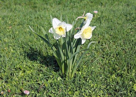 Narcissus, Daffodils, Amaryllidaceae, Flowers, Flower