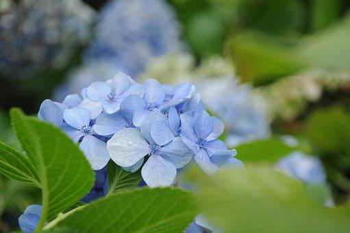 Hydrangea Serrata, Flower, The Median, Plato, Lilac