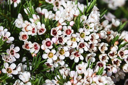 Waxflower, Frangipani, Australian, Bush, Flowers