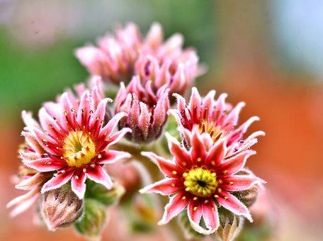 Vetplantjes, Plants, Nature, Flowers, Garden, Spring