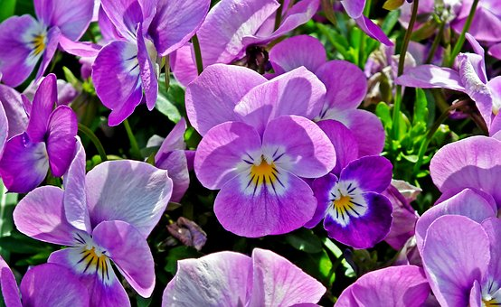 Pansies, Flowers, Colorful, Spring, Garden, Nature