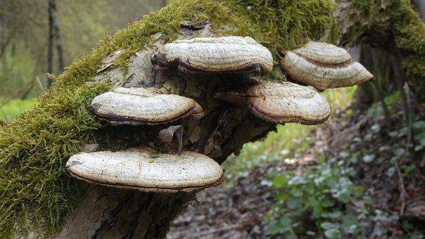 Polypore, Fungus, Fungus On Wood, Mushrooms