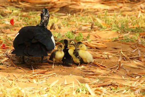 Goose, Goslings, Waterbirds, Young, Park, Mother