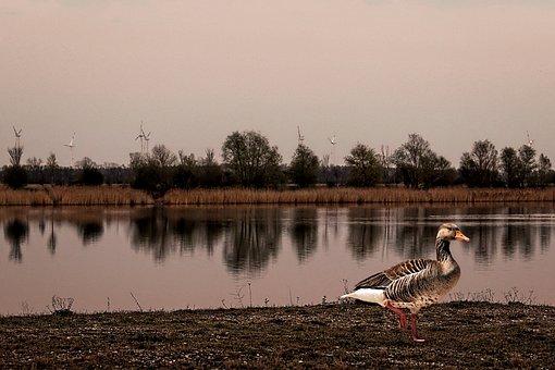 Dusk, Greylag Goose, Landscape, Water Reflection, Bird