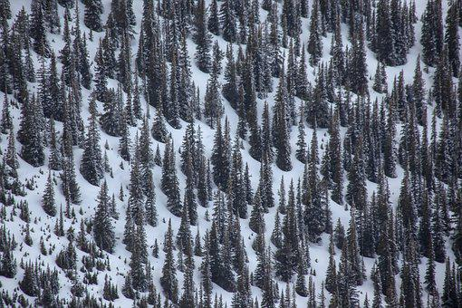 Conifers, Coniferous Forest, Canada, Landscape, Snow