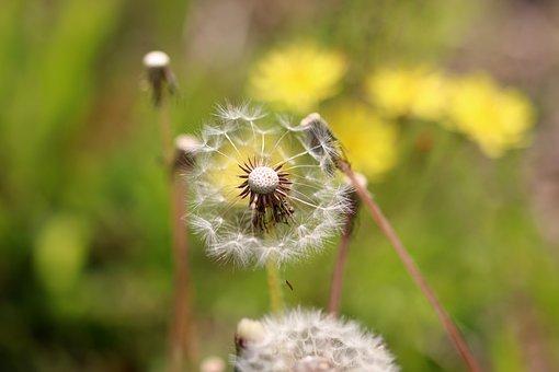Spring, Dandelion, Meadow, Nature, Garden, Mr, Light