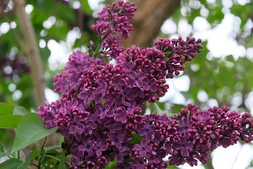Lilac, Purple, Spring, Flowers, Nature, Violet