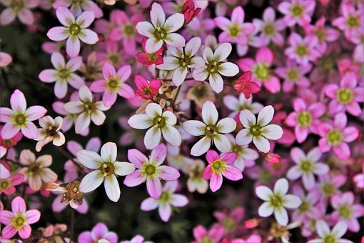 Small Flowers, The Petals, Pink, Plant, Macro, Garden