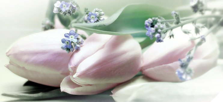 Tulips, Flowers, Forget Me Not, Bloom, Spring, Nature