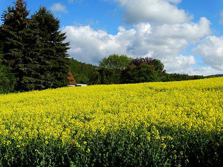 Field Of Rapeseeds, Oilseed Rape, Plant, Agriculture
