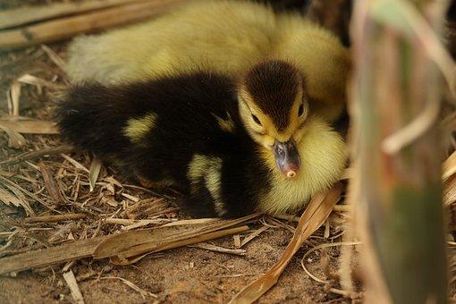 Goose, Gosling, Young, Waterbird, Plumage, Soft