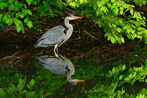 Heron, Wading Bird, Animal, Feather, Plumage, Beak, Eye