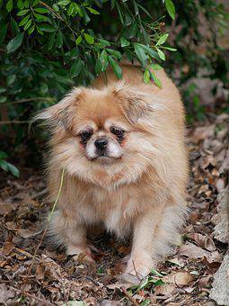 Dog, Tibetan Spaniel, Pet, Canine, Pup, Nature