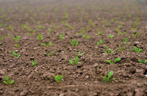 Seedlings, Sugar Beet, Shoots, Seed, Spring, Field