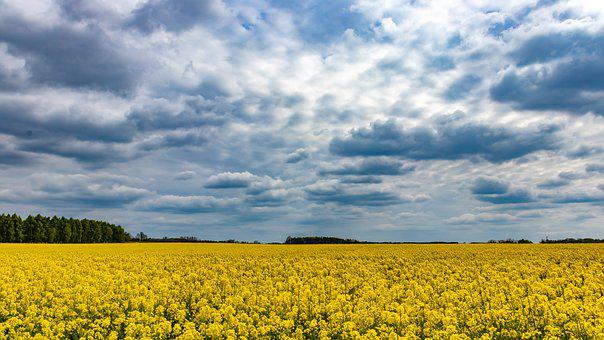 Clouds, Field, Rapeseed, Landscape, Sky, Agriculture