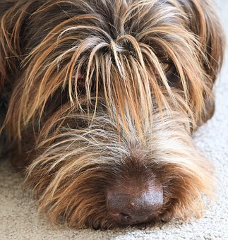 Bitch, Wirehaired, Tired, Sleep, Relaxation, Cute