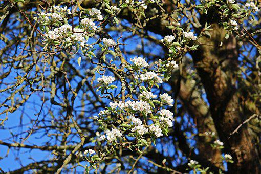 Old Pear-tree, Blossoming Pear Tree, Spring