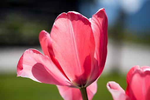Tulip, Flower, Blossom, Bloom, Garden, Red