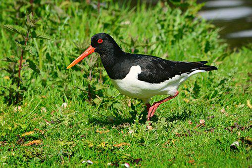 Eurasian Oystercatcher, Wading Bird, Animal, Beak