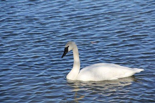 Swan, Lake, Water, Bird, Nature, Animal, White, Swim