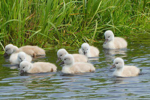 Young Swans, Swimming, Down Feathers, Swans, Water