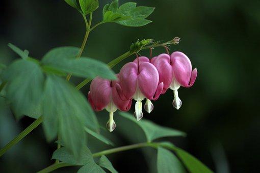 Bleeding Heart, Flowers, Wildflower, Pink, Nature