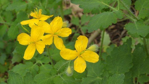 Celandine, Chelidonium, Wild Plant, Yellow Flowers
