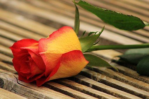 Yellow Orange Rose, Wood, Bicolor Rose, Rose, Feeling
