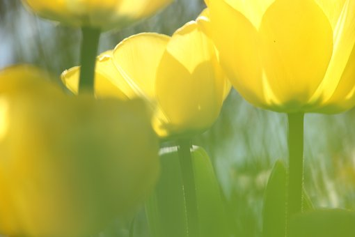 Yellow Tulips, Blur, Tulip Bed, Flower Bed, April