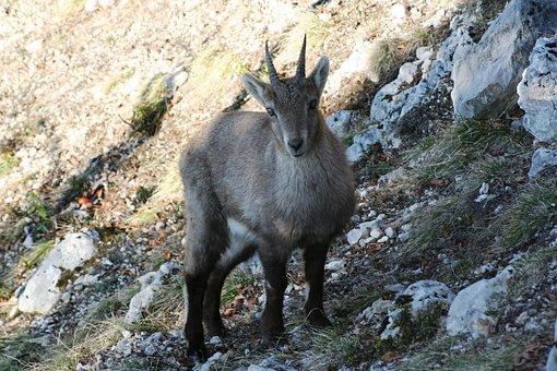 Stone Geiss, Capricorn, Ruminant, Alpine Ibex