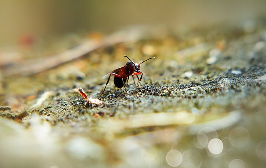Ant, Red, Queen, Female, Insect, Antennae, Animals