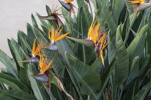 Flowers, Birds Of Paradise, Exotic, Plant, Nature