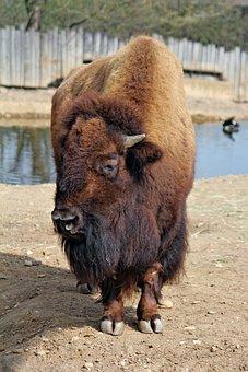 Bison, American, Large, Majestic, Artiodactyl