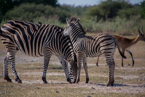 South Africa, Zebra, Animal, Black And White, Safari