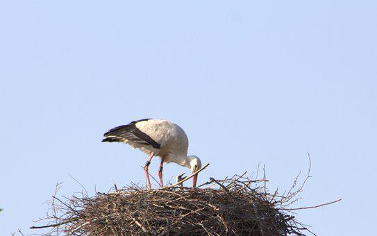 Brood Care, Stork, Adebar, Rattle Stork, Nest, Young