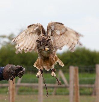 Brown Owl Taking Food, Owl, Raptor, Glove, Captive