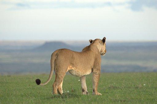 Mama Lion, Lioness, Wilderness, Carnivore, Nature