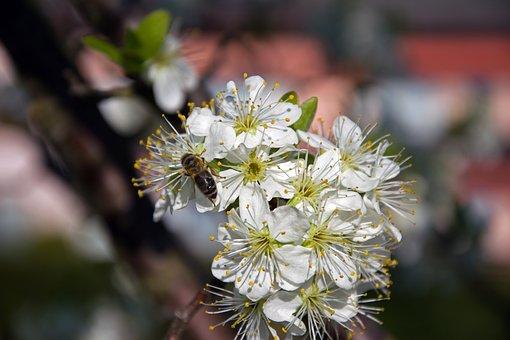 Plum, Flowers, Cluster, Branch, White, Nature, Garden