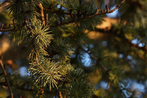 Coniferous, Macro, Tree, Points, Nature, Forest, Branch