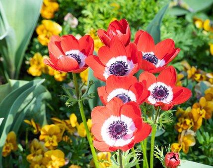 Anemone, Flower, Plant, Ornamental Plant, Flora, Red